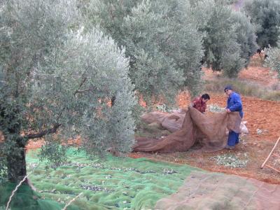 20081201103251-foto-olivas.jpg